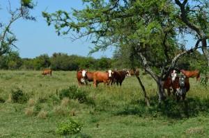 Campos rústicos, animales adaptados a la rusticidad